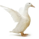 White duck, wing whirring