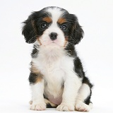 Cavalier King Charles Spaniel pup