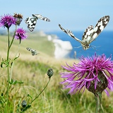 Marbled White Butterfly flying over flower
