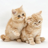Ginger kittens, one with a paw on the head of the other