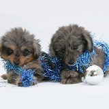 Sheltie x Poodle pups chewing Christmas decorations