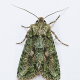 Brindled Green Moth
