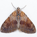 Pine Carpet Moth