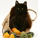 Black Maine Coon kitten in a bag of gourds