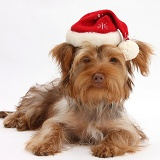 Yorkie x Poodle pup with Santa hat on