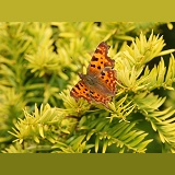 Comma butterfly on yew