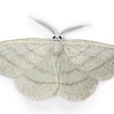 Common White Wave moth