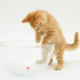 Ginger kitten playing with a marble in a glass bowl