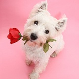 Westie with a red rose