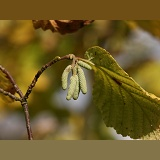 Hazel catkins in October