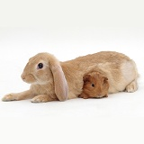 Sandy lop-eared rabbit and red Guinea pig