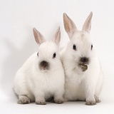 Seal colour-point Netherlands dwarf rabbits
