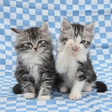 Maine Coon-cross kittens, sitting on blue gingham cloth