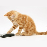 Ginger kitten with a mobile phone