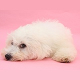 Bichon Frise lying with his chin on the floor