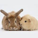 Sandy rabbit and yellow Guinea pig