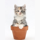 Maine Coon-cross kitten in flowerpot