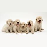 Five Golden Retriever puppies in a row