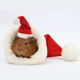 Baby Guinea pig in and wearing a Santa hat