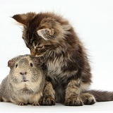 Maine Coon kitten with guinea pig