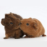 Baby red Guinea pigs kissing
