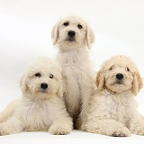 Three Labradoodle pups, 9 weeks old