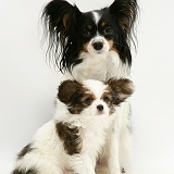 Papillon bitch and pup