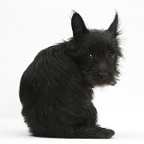 Black Terrier-cross puppy