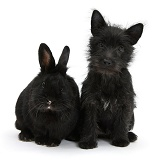 Black Terrier-cross puppy with black rabbit