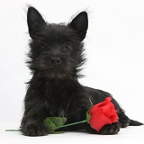 Black Terrier-cross puppy, with a red rose