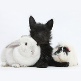 Black Terrier-cross puppy with rabbit and Guinea pig