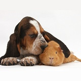 Basset Hound pup ear over red guinea pig