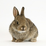 Baby European Rabbit