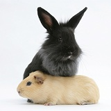 Black Lionhead-cross rabbit with Guinea pig