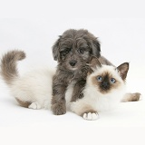 Sheltie x Poodle pup and Birman kitten