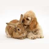 Buff American Cocker Spaniel pup with rabbit