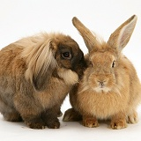 Lionhead and Lionhead-cross rabbits