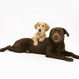Yellow Labradoodle pup and Chocolate Labrador