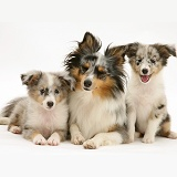 Sheltie with two puppies
