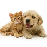 Golden Retriever pup with ginger kitten
