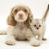American Cocker Spaniel pup and kitten