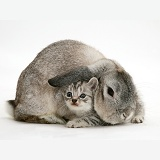 Silver Lop rabbit and silver tabby kitten