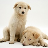 White Alsatian pups