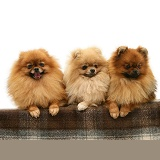 Three Pomeranians with paws over