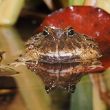 Columbian Horned Frog