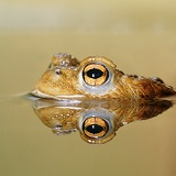 Toad with reflection at the surface of a pond