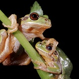 European Tree Frogs