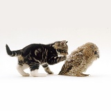 Kitten playing with Tawny Owl chick