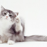 Grey-and-white cat scratching its ear