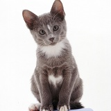 Grey-and-white Tonkinese kitten